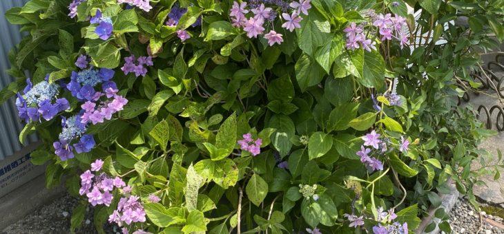 NPOファームより 紫陽花が満開